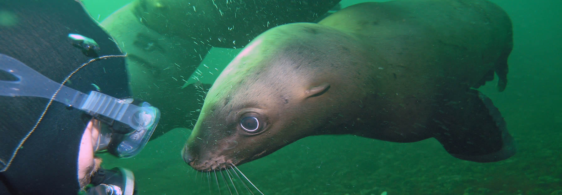California sea lion – Diving Lessons and Scuba Certification